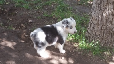 Quality Toy, Mini and Standard Australian Shepherd Puppies